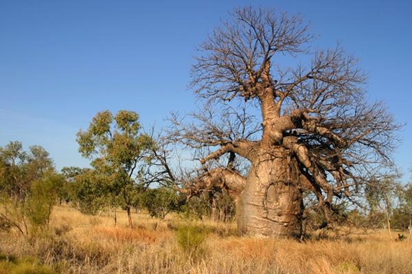 עצי הבאובב נפוצים באזור קימברלי