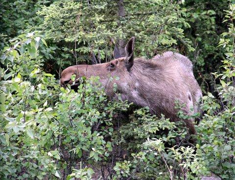 מוס גדול אוכל שיח באלסקה