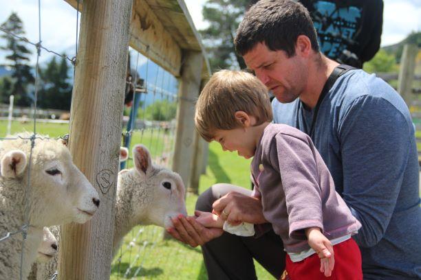 מאכילים כבשים חמודות בניו זילנד