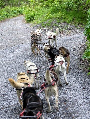 מזחלת כלבים באלסקה