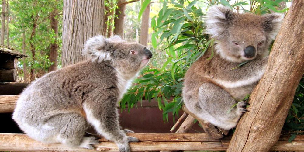 דובי קואלה באוסטרליה