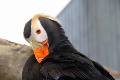 ציפור פאפין באלסקה