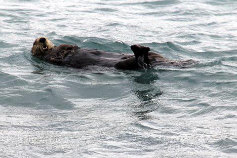 אריה ים שוחה על גבו