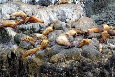 אריות ים באלסקה