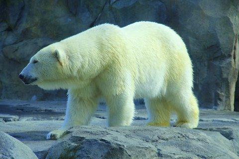 דוב לבן באלסקה