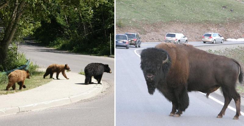 בעלי חיים שראינו בטיול בארהב ובקנדה דובים וביזונים
